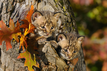 Pair of cautious Bobcat kittens peeking out from the hollow of a tree with Fall colors