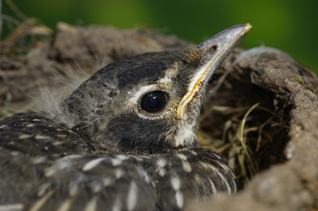 Fledgling Robin still in the nest just before the first flight
