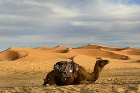 saddle camel: Single Dromedary camel sitting with harness and saddle in the Erg Chebbi desert Morocco