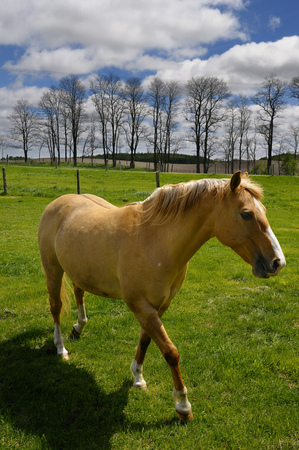 Palomino horse walking in field of grass on rolling hills