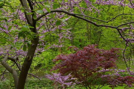 Red maple and Eastern Redbud with pink flowers in spring