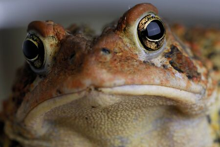 Close up of American toad face