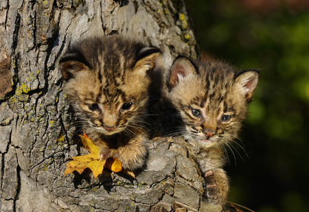 Pair of cute Bobcat kittens peeking out from the hollow of a tree in Autumn LANG_EVOIMAGES