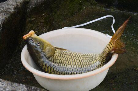 Fresh caught live carp fish in Shangshe village on Fengle Lake Huangshan China