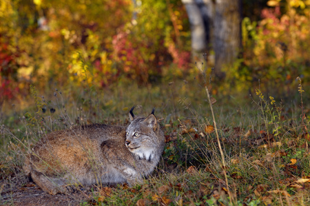 sates: Canadian Lynx crouching by a rabbit hole in the early morning at the edge of a Fall forest