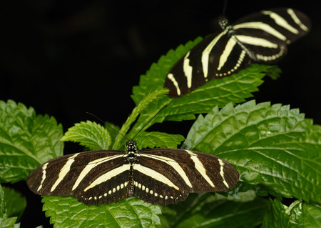 Zebra Longwing butterfly on a Purple Porterweed tropical plant LANG_EVOIMAGES
