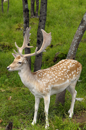 Fallow Deer buck with growing antlers in an open forest at a Quebec nature preserve