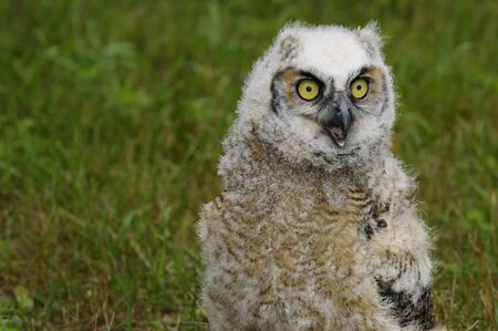 Wide eyed Great Horned Owl chick screeching on the ground
