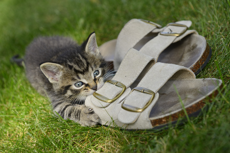 clawing: Male kitten outdoors chewing on leather sandals on grass lawn LANG_EVOIMAGES
