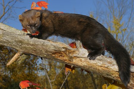 pekan: Full length North American Marten looking down while climbing a dead tree in the Fall LANG_EVOIMAGES