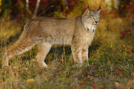 sates: Canadian Lynx in the morning sun watching for prey at the edge of a colorful Autumn forest