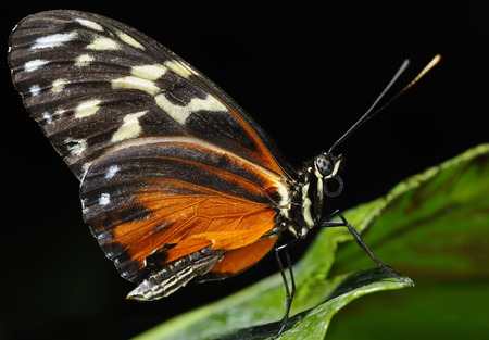 Wing texture of Eueides Isabella longwing butterfly on a leaf against black background LANG_EVOIMAGES