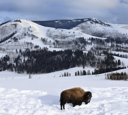 Lone Bison in winter at sunset grazing in Lamar Valley LANG_EVOIMAGES