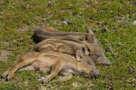 pezones: Tres pequeños cochinillos de jabalí durmiendo al sol