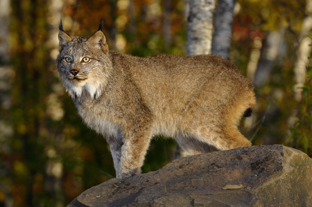 sates: Staring Canadian Lynx standing on a rock in a birch forest in Autumn at sunrise