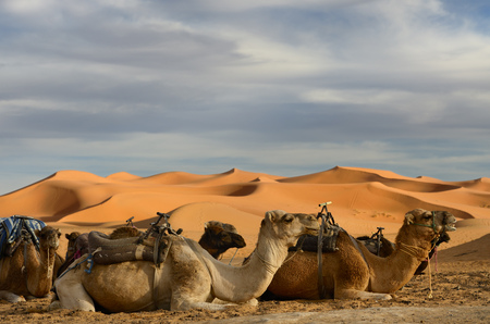 Dromedary camels sitting with harness seats for an evening ride in the Erg Chebbi desert Morocco LANG_EVOIMAGES