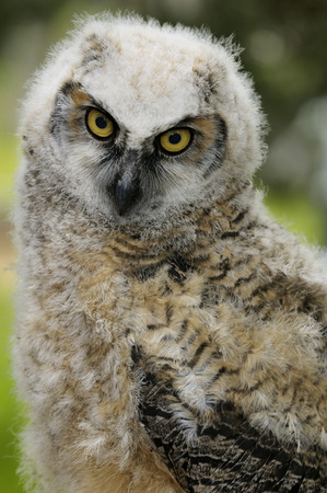Close up of a fledgling Great Horned Owl chick with a sad look LANG_EVOIMAGES
