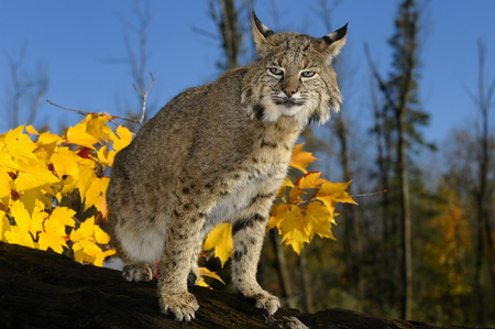 sates: Slit eyed Bobcat on a fallen tree trunk with yellow maple leaves and blue sky