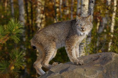 lince rojo: Lince canadiense con los ojos abiertos de pie sobre una roca en un bosque de abedules en otoño al amanecer
