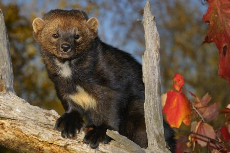 pekan: Staring North American Marten on a tree stump in the Fall showing white chest markings LANG_EVOIMAGES