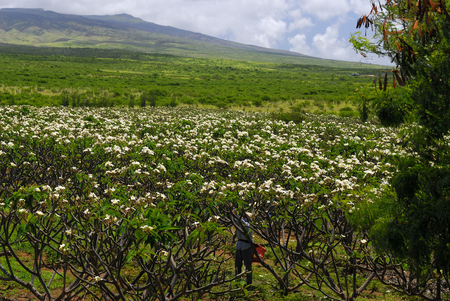 Harvesting flowers in an plumeria orchard for making leis