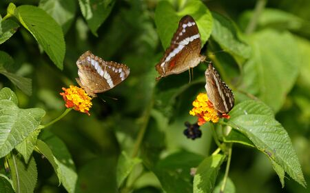 Bordered Patch butterflies flying and feeding on lantana bush Costa Rica LANG_EVOIMAGES