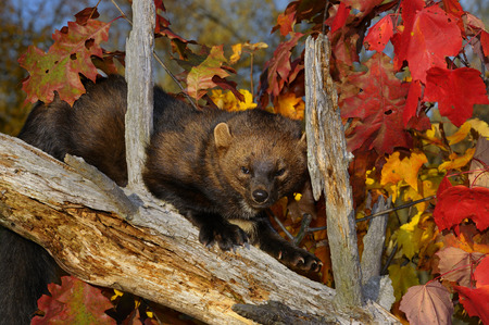 pekan: Fisher or North American Marten climbing down a dead tree stump with red leaves in the Fall