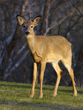 invade: Cautious White Tailed deer standing in a Toronto yard on a spring evening LANG_EVOIMAGES