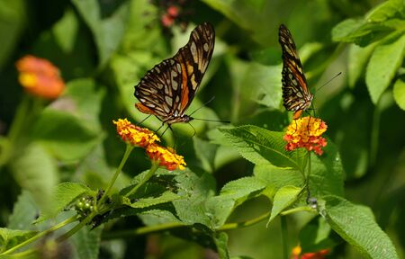 dione: Dione Juno Silverspot butterfly on Lantana bush in Carate Costa Rica