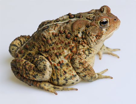 Right side view of American Toad on white background LANG_EVOIMAGES