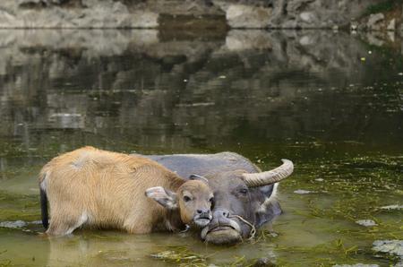 Asian water buffalo calf caressing mother in a pond of the Li river at Fuli near Yangshuo China