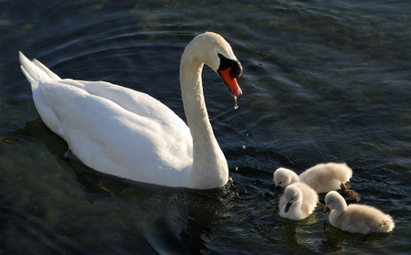 Male Mute Swan feeding three cygnets LANG_EVOIMAGES