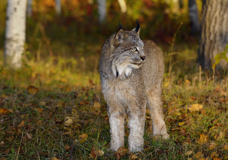 sates: Canadian Lynx standing in a clearing by a colorful Autumn forest at sunrise