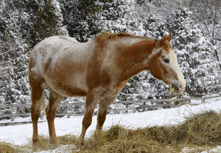 Appaloosa quarter horse munching on hay in winter beside a snow covered forest