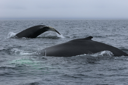 cetaceans: Close up of two female humpback whales traveling at Twillingate Newfoundland showing dorsal fin and tail LANG_EVOIMAGES