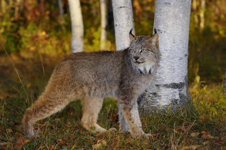 sates: Canadian Lynx watching for prey in the shade of birch trees in a colorful Autumn forest at sunrise LANG_EVOIMAGES