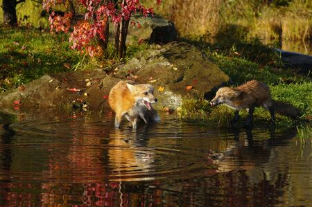 Wading mother Red Fox warning young kit with a yelp by the waters edge while drinking