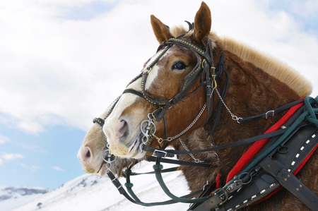 horse collar: Draft horses after a sleigh ride