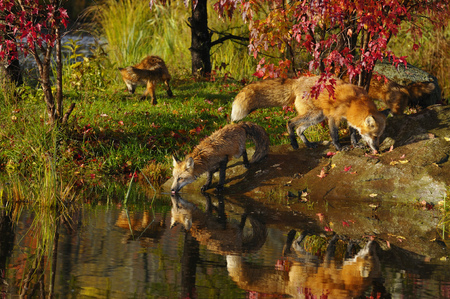 Mother with weaned Red Fox kits drinking at rivers edge in the Fall with red maple trees