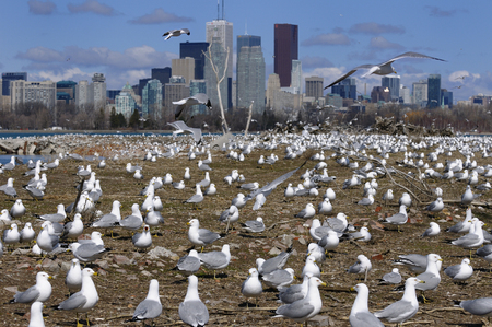 Crowd of Ring Billed Gulls at Leslie Street Spit nesting grounds in Toronto LANG_EVOIMAGES