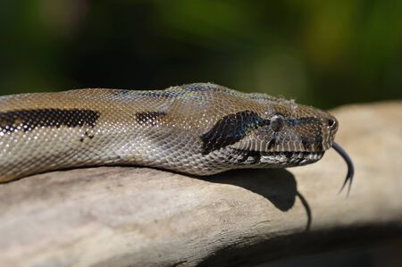 flicking: Close up view of the head of a boa constrictor flicking the tongue in Costa Rica