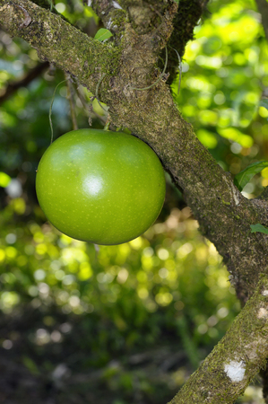 Green unripe fruit of the ornamental Calabash tree Crescentia cujete in Costa Rica LANG_EVOIMAGES