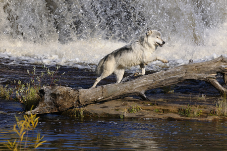 frolicking: Gray Wolf jumping under a waterfall on the Kettle River Banning State Park Minnesota