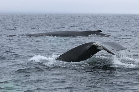 cetaceans: Two female humpback whales traveling at Twillingate Newfoundland showing dorsal fin and tail LANG_EVOIMAGES