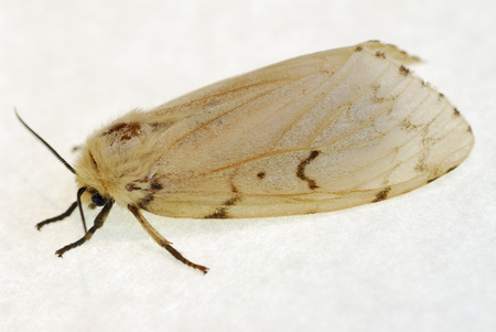 invade: Female gypsy moth profile on white paper