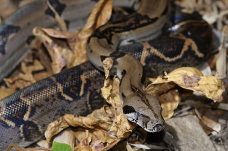 Boa constrictor flicking forked tongue on leaf litter in tropical jungle of Costa Rica