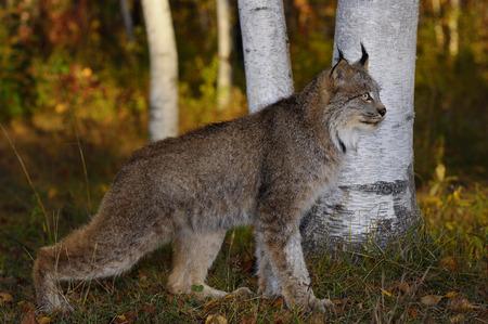 lince rojo: Canadiense Lynx agacharse a la sombra de los árboles de abedul en un colorido bosque de otoño al amanecer