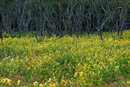 Yellow flowered Wedelia at sunset with dead tree trunks Molokai LANG_EVOIMAGES