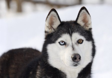 mushing: Blue and brown eyed siberian husky standing in snow LANG_EVOIMAGES
