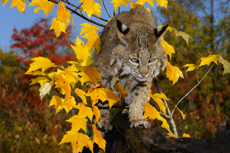 sates: Bobcat walking along a fallen tree trunk with yellow and red maple leaves and blue sky LANG_EVOIMAGES